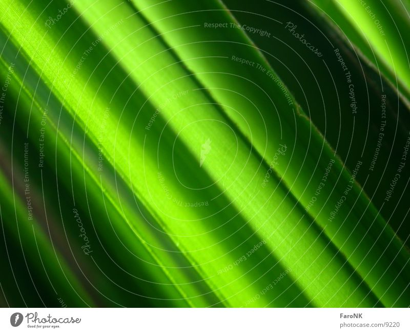PalmBlatt grün Palme Pflanze Makroaufnahme Nahaufnahme