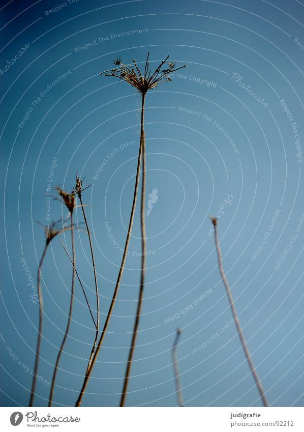 Vom letzten Sommer Natur Himmel blau Pflanze Herbst Tod Umwelt Stern (Symbol) Ende dünn Vergänglichkeit Wildtier trocken Botanik vertrocknet stachelig