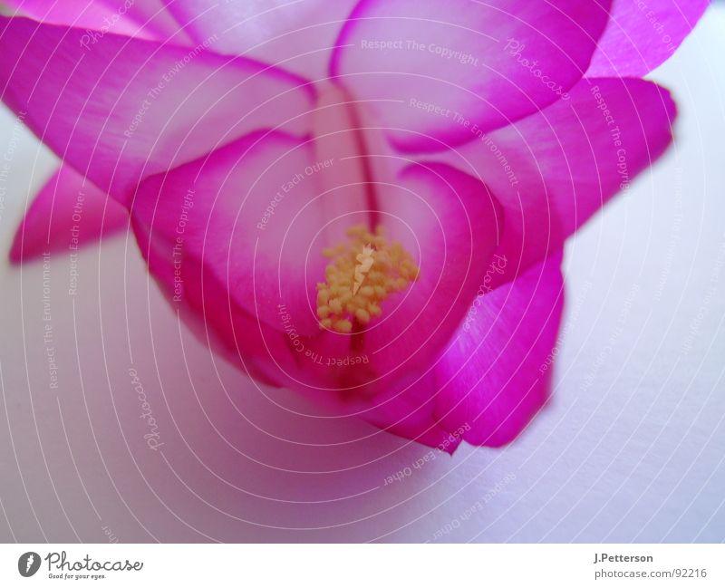 schlumbergarablüte 2 schön Blüte elegant violett Wohnzimmer Kaktus Kakteenblüte