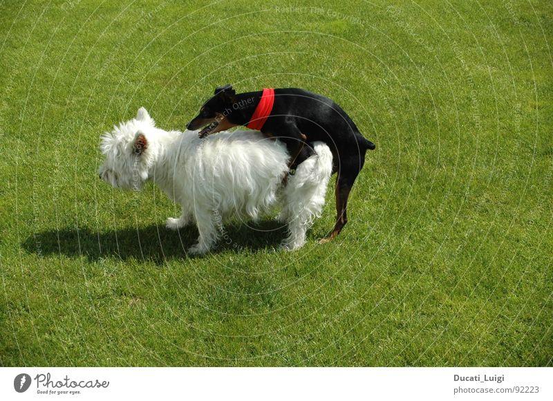 I feeeeel good ... Hund weiß Sommer schwarz Gras Glück Garten Stil Zufriedenheit Energiewirtschaft Verkehr Körperhaltung Rasen Fell heiß Decke
