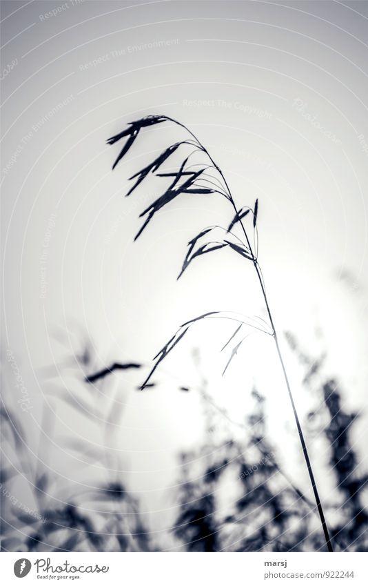 Tristesse zum 1.November Natur Sommer Herbst Pflanze Wildpflanze Gras dünn authentisch einfach gruselig kalt Trauer Müdigkeit Enttäuschung Einsamkeit Farbfoto