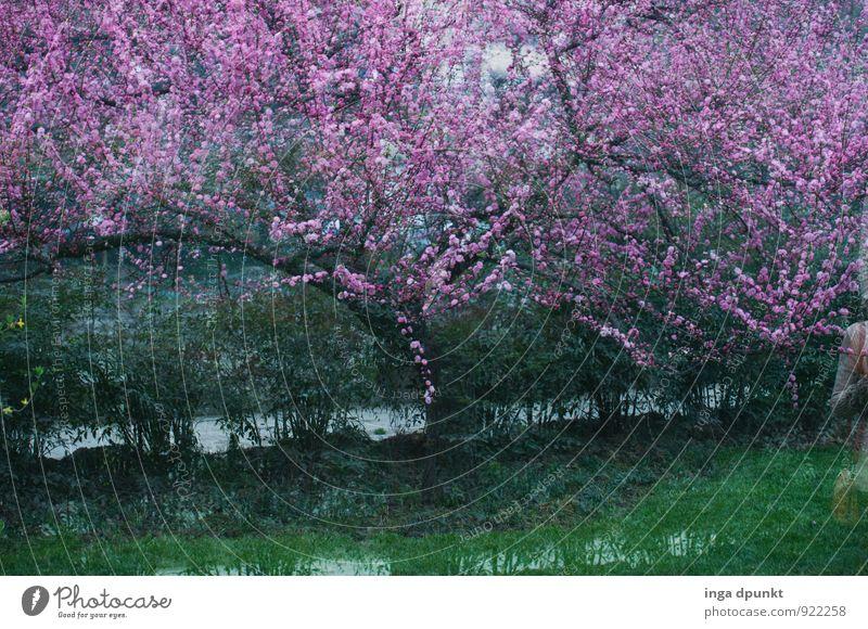 Pfirsichblüte Umwelt Natur Landschaft Pflanze Wasser Baum Blüte Pfirsichbaum Pfirsichblüten Park Moor Sumpf Blühend grün rosa Jahreszeiten Landwirtschaft