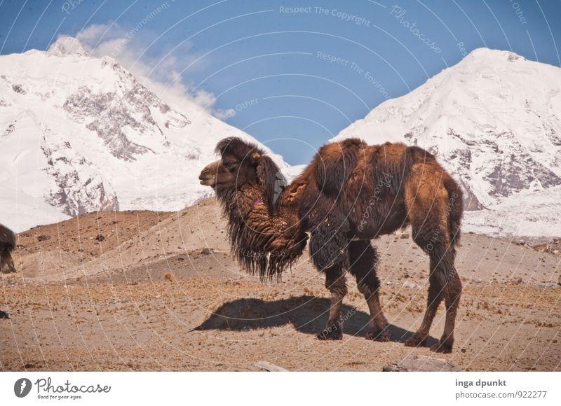 Vier Höcker Umwelt Natur Landschaft Tier Urelemente Erde Himmel Wolkenloser Himmel Schönes Wetter Eis Frost Felsen Berge u. Gebirge Hochgebirge Gipfel