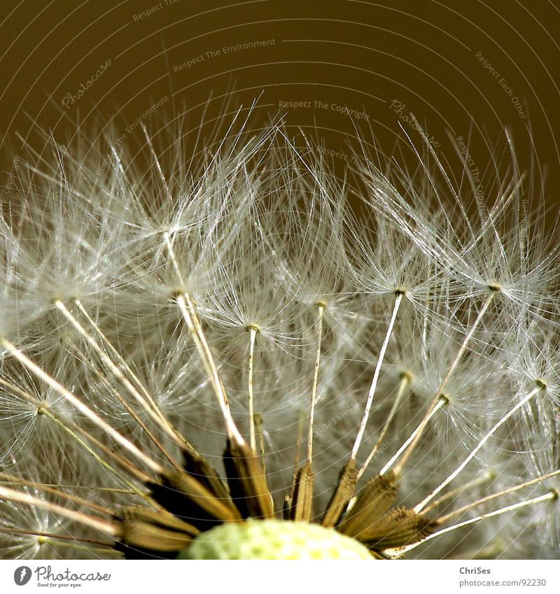 Startbereit Löwenzahn blasen braun weiß Frühling Sommer Fallschirm fliegen Blume Pflanze Makroaufnahme Nahaufnahme Samen ChriSes
