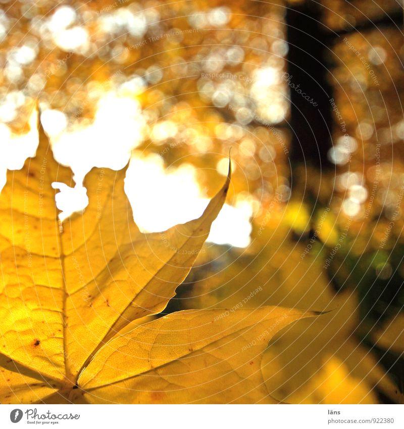 herbstgeflüster /l Umwelt Natur Landschaft Herbst Schönes Wetter Pflanze Baum Blatt Wald glänzend leuchten dehydrieren Freundlichkeit gelb orange
