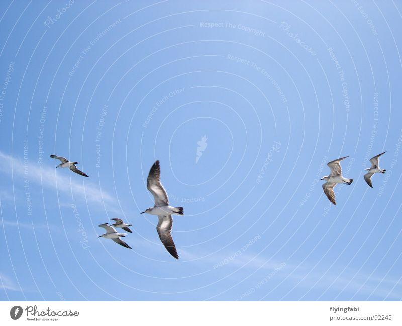 Möwen über Costa Rica Himmel Meer blau Wolken Freiheit Vogel Meeresvogel