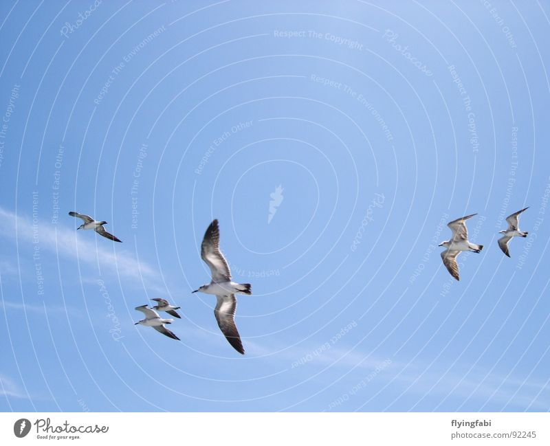 Möwen über Costa Rica Vogel Wolken Meer Meeresvogel Himmel Freiheit blau gulls birds freedom sky blue clouds ocean seebirds