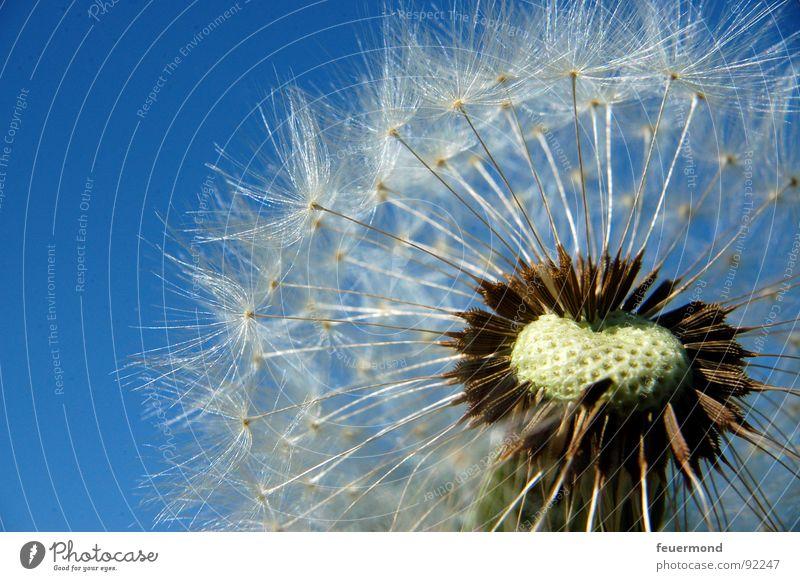 Halbglatze Löwenzahn Sommer blasen Fortpflanzung Hand Blumenstrauß Frühling Samen jucken Wind wehen Pflanze Natur Garten Himmel