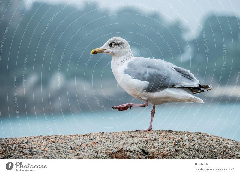 Tanz Küste Tier Wildtier Vogel Flügel 1 blau grau türkis weiß Möwe gehen Beine Farbfoto Außenaufnahme Menschenleer Textfreiraum links Textfreiraum rechts