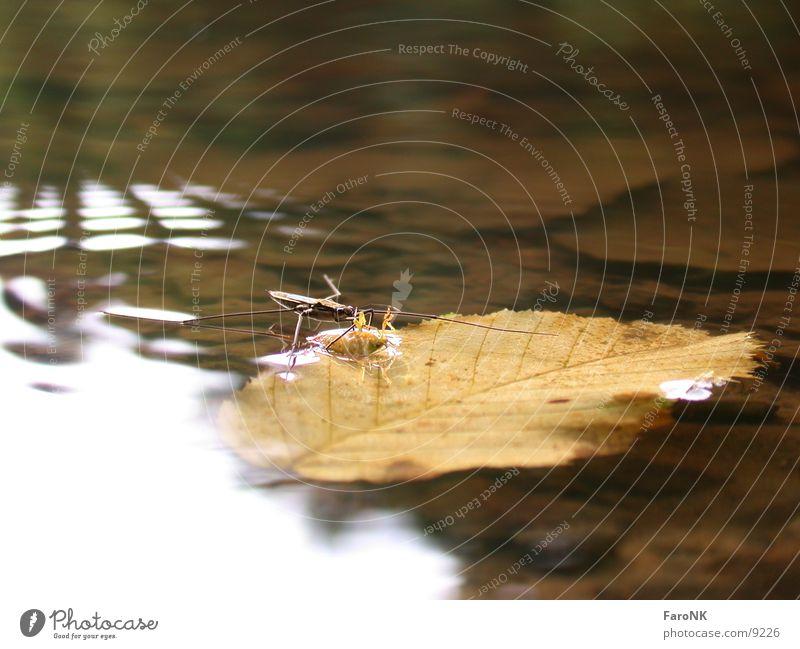Wasserläufer Wasser Blatt Verkehr Insekt Wanze Wasserläufer