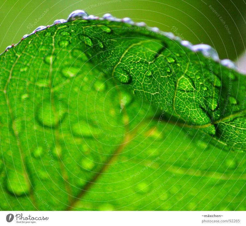 raindrops I Wasser Baum grün Pflanze Blatt Frühling Regen glänzend nass rund feucht Erfrischung Gefäße eckig Kühlung knallig