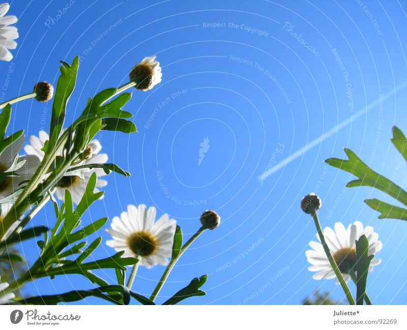 dem Himmel entgegen Blume Frühling weiß Magaritten blau