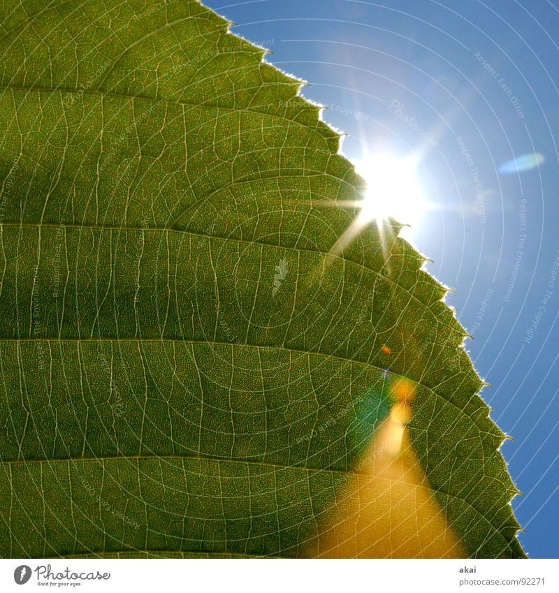 Das Blatt 6 Natur Himmel Baum Sonne grün blau Pflanze Blatt Leben Kraft Hintergrundbild Umwelt geschlossen Sträucher nah Ast