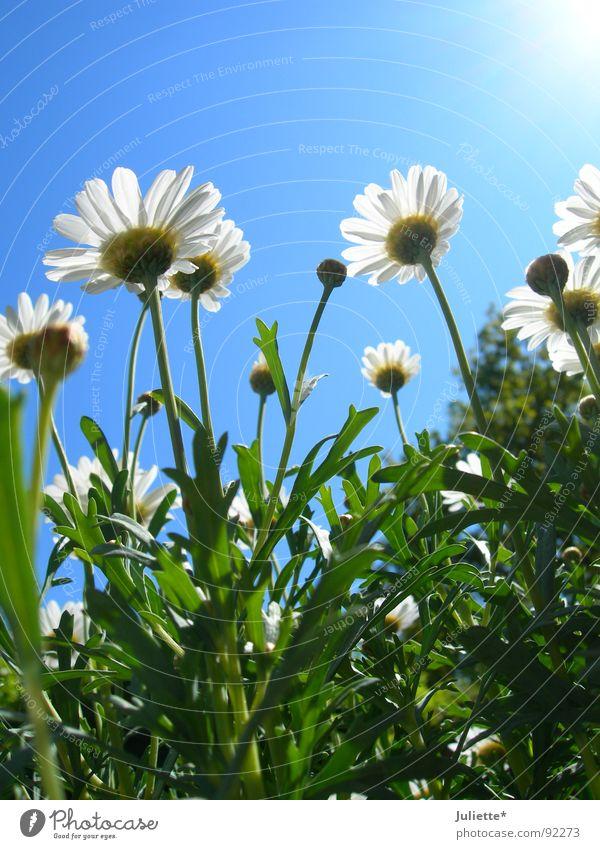 Käferperspektive Blume grün Frühling frisch Magaritten Himmel Farbe