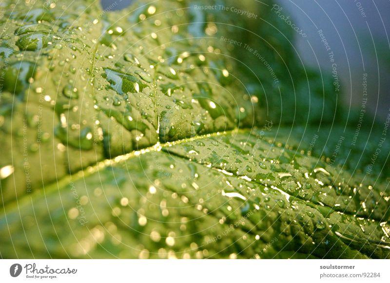 Der Regen ist da!!! Wasser grün Pflanze Blatt Frühling Regen Wassertropfen nass Gefäße Blattgrün