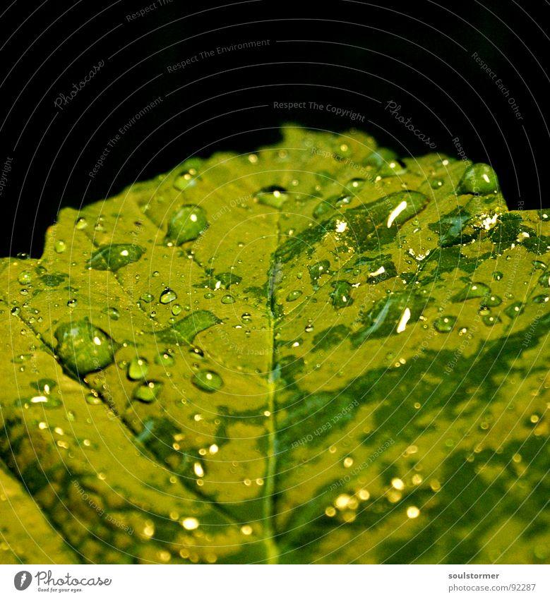 Let it drop... Wasser grün Pflanze Blatt Frühling Regen Wassertropfen nass Gefäße Blattgrün