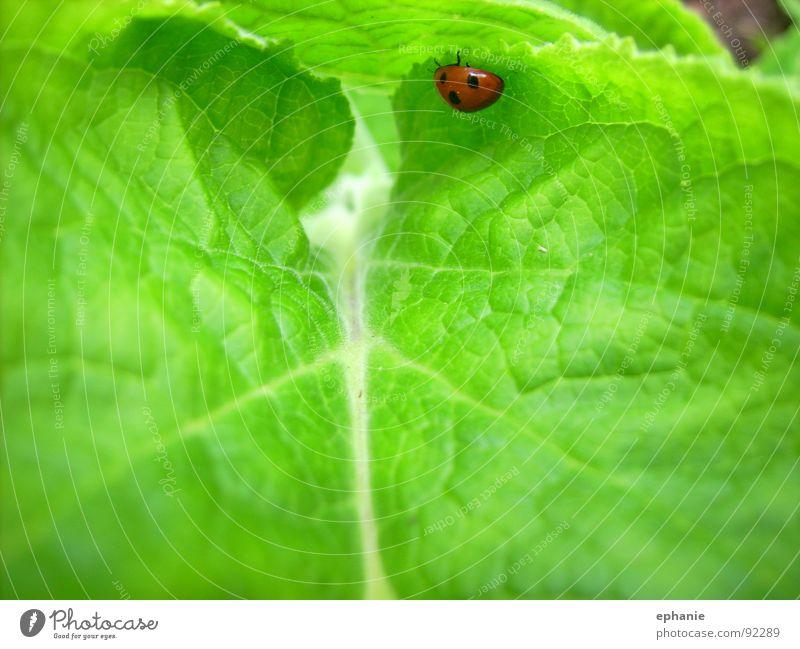 Grün mit rotem Hindernis grün Sommer Blatt Marienkäfer Käfer krabbeln gepunktet