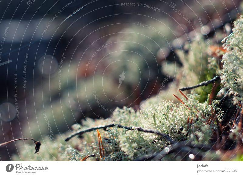 Mikrokosmos II Umwelt Natur Pflanze Wald schön Waldboden Moos Flechten Zweige u. Äste glänzend ruhig Mikrofotografie Herbst herbstlich Farbfoto Gedeckte Farben