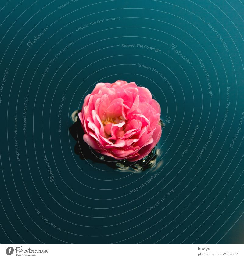 Rosenwasser Wasser Blüte Rosenblüte Blühend Duft Schwimmen & Baden ästhetisch positiv schön blau rosa ruhig Mittelpunkt rein Blume 1 Im Wasser treiben Farbfoto