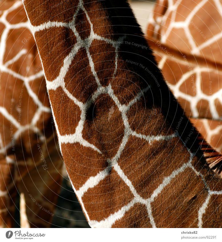 Suchbild (Welche Tiere verstecken sich in diesem Bild?) schön Freude ruhig Tier Muster elegant Frieden einzigartig zart Fell Zoo Freundlichkeit Fleck Hals Säugetier Schwanz