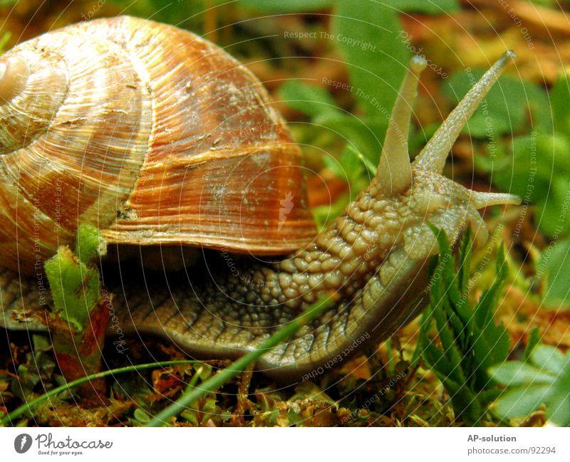 Weinbergschnecke *1 Landlungenschnecke Tier Haus Schneckenhaus schleimig Schleim Fühler krabbeln langsam Geschwindigkeit Spirale Blatt Gras zurückziehen