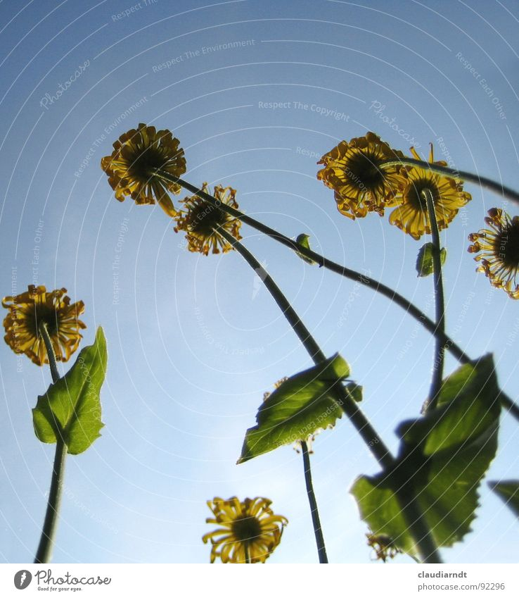 Lockenblumen Himmel Blume Sommer Wiese Blüte Frühling lustig Perspektive Rasen Ziel außergewöhnlich unten Richtung aufwärts gegen