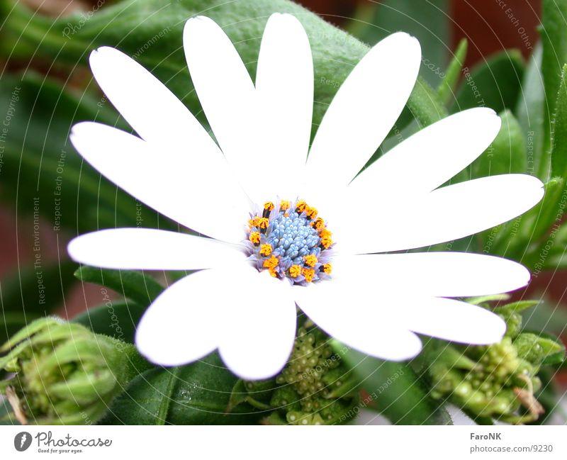 Mittagsblume Blume Pflanze Blüte Mittagsblumen