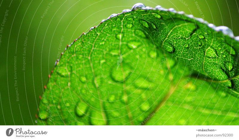 raindrops III Wasser grün Baum Pflanze Blatt Frühling Regen glänzend nass rund feucht Erfrischung Gefäße eckig Kühlung knallig