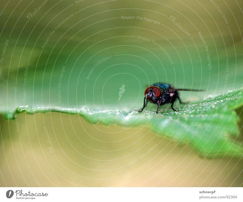 Gleich flieg ich weg... Blatt Insekt Schüchternheit grün Makroaufnahme Stechmücke Schädlinge 6 Facettenauge Unschärfe lau Wachsamkeit Wildnis Futter hässlich