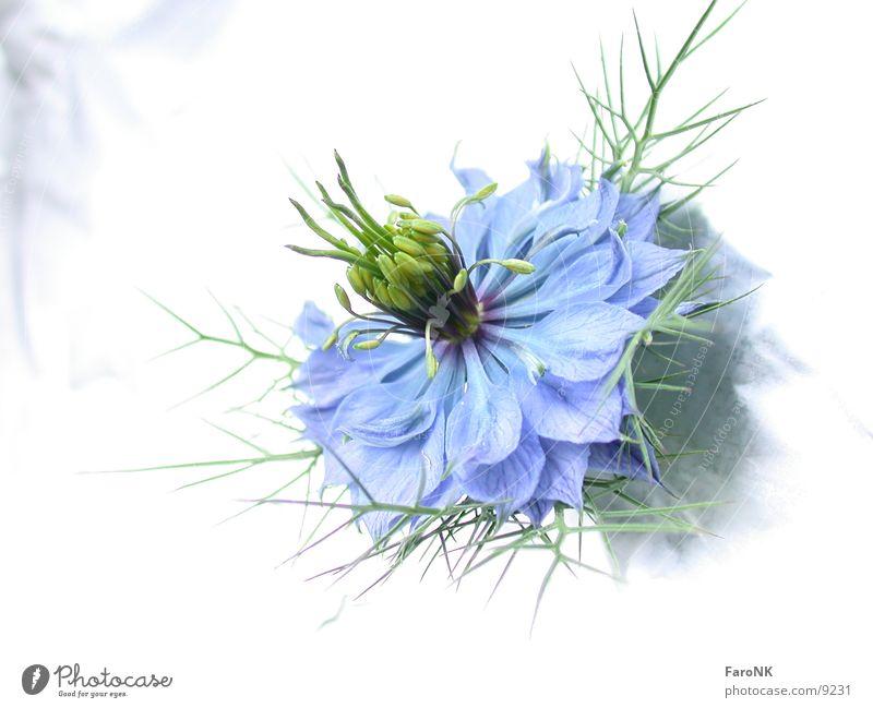 Blüte Blume blau Pflanze