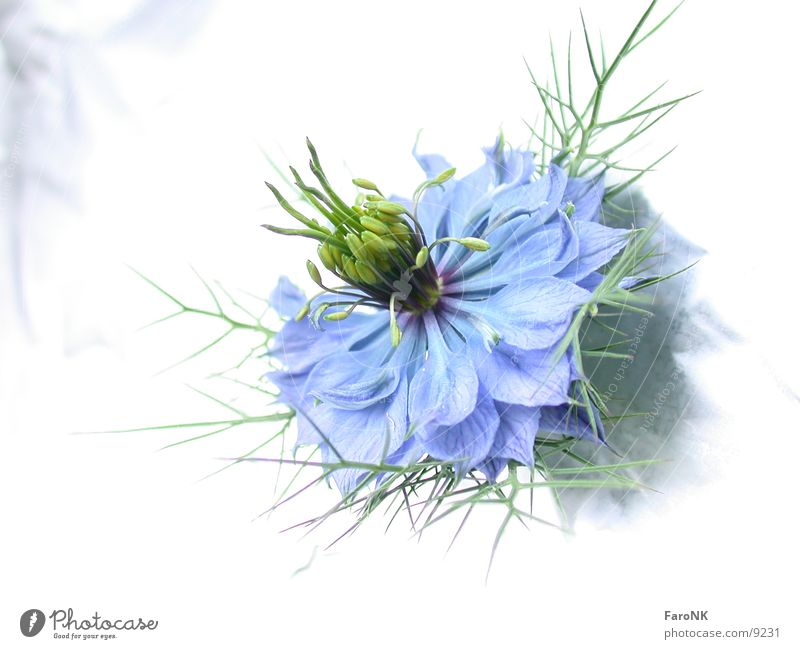 Blüte Pflanze Blume Makroaufnahme Nahaufnahme blau