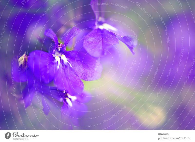 violetta Natur Pflanze schön Farbe Blüte natürlich rosa elegant ästhetisch weich zart Duft Leichtigkeit Wildpflanze Topfpflanze