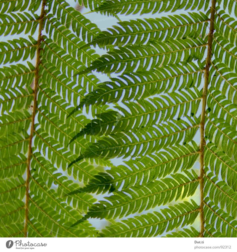 Hexenleiter Natur grün Pflanze Beleuchtung geschlossen wild Spitze zart Stengel verstecken Botanik zerbrechlich verdeckt Farn filigran Grünpflanze