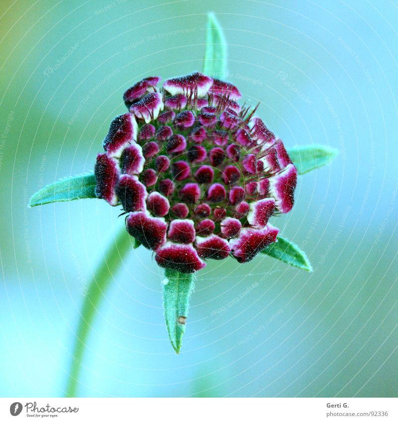 florescence Blume Blüte Pflanze Blütenblatt Botanik mehrfarbig Esoterik Seele zart erleuchten grün rot weich sensitiv sensibel frisch Farbe Natur blumengruß