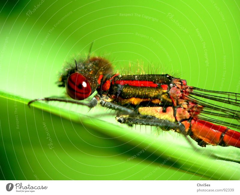 Frühe Adonisjungfer  (Pyrrhosoma nymphula)_01 Frühe Adonislibelle Libelle Insekt rot Tier grün gelb Sommer Gliederfüßer Klein Libelle Schlanklibelle Grimasse