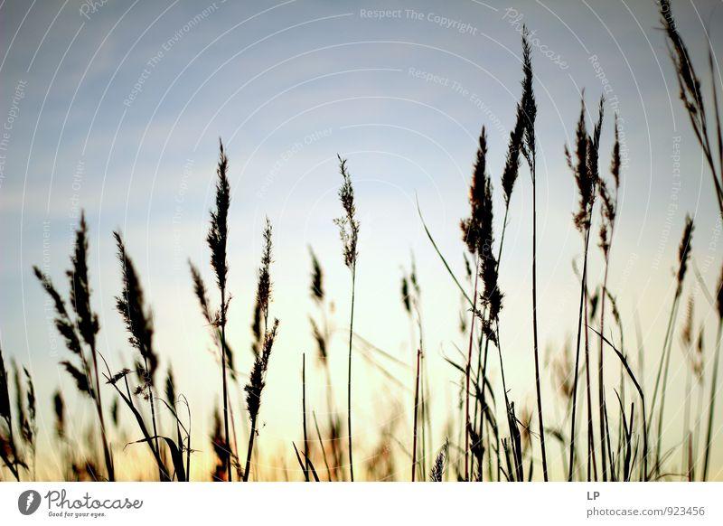 Himmel Pflanze schön Einsamkeit Landschaft ruhig gelb Wärme Leben Gefühle Gras grau Garten träumen gold ästhetisch