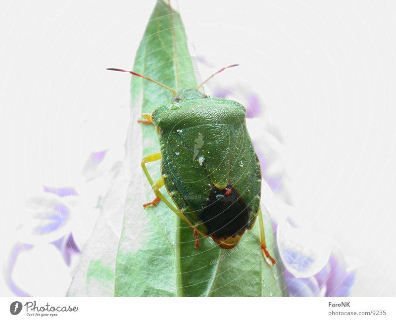 Wanze Tier Blatt grün Verkehr Käfer