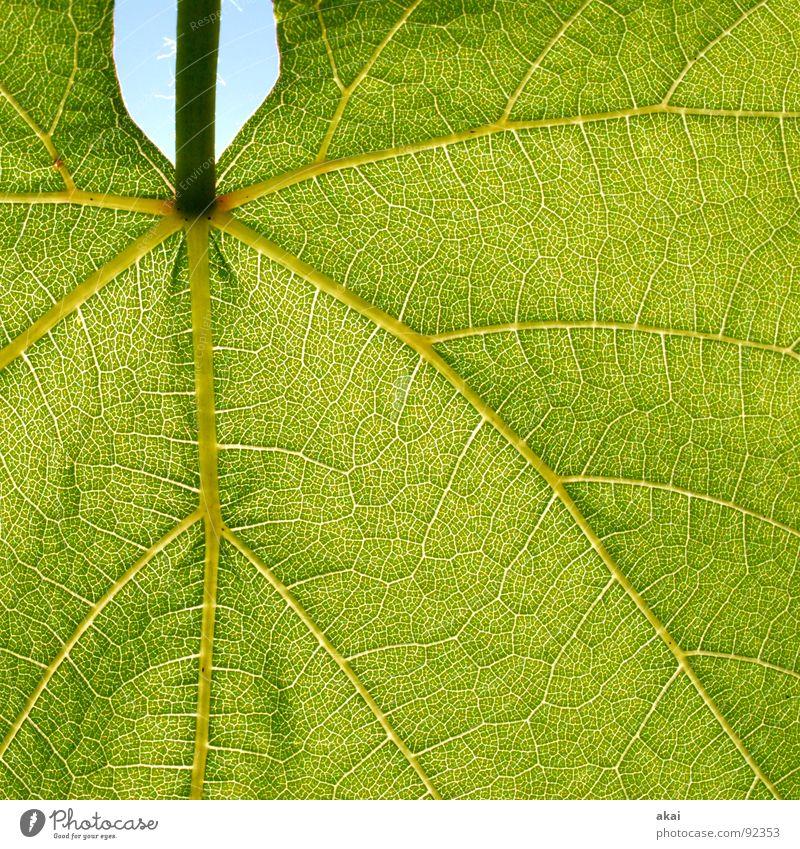 Das Blatt 7 Pflanze grün Botanik Pflanzenteile Kletterpflanzen pflanzlich Umwelt Sträucher Gegenlicht Hintergrundbild Baum nah Photosynthese reif Gefäße
