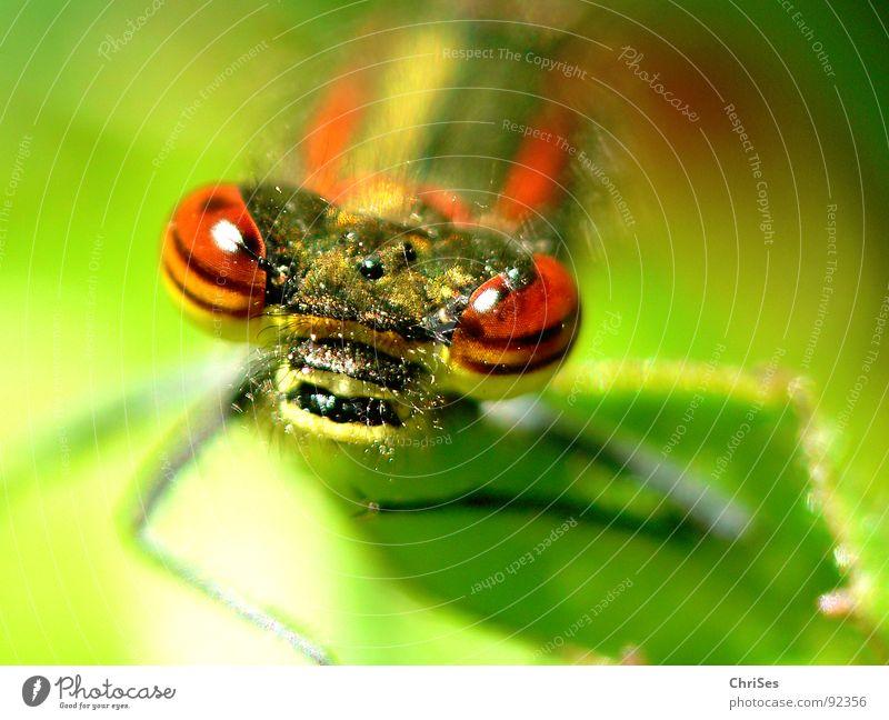 frontal : Frühe Adonisjungfer (Pyrrhosoma nymphula)_02 Natur grün rot Sommer Tier Auge gelb Haare & Frisuren Garten Streifen Insekt Grimasse Libelle Nordwalde