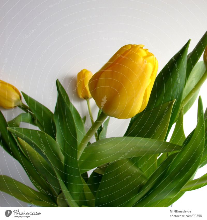 Tulipa Tulpe Blumenstrauß Tulpenblüte Blüte gelb grün beige Stengel Blütenstiel Quadrat anlehnen Frühling saftig frisch Blühend tulipa tulpenstrauß blumenstiel