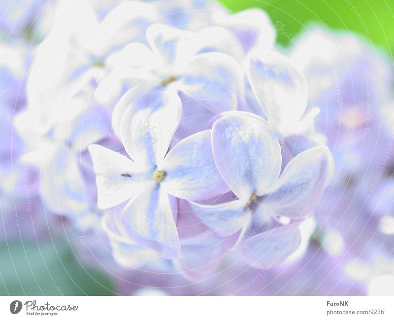Flieder Fliederbusch Baum Blüte Makroaufnahme Nahaufnahme