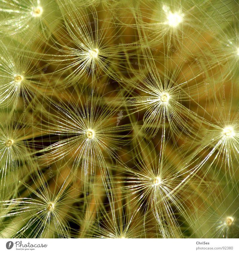 Puste Löwenzahn blasen braun weiß Frühling Sommer Fallschirm fliegen Blume Pflanze Makroaufnahme Nahaufnahme Samen Natur Vogelperspektive ChriSes