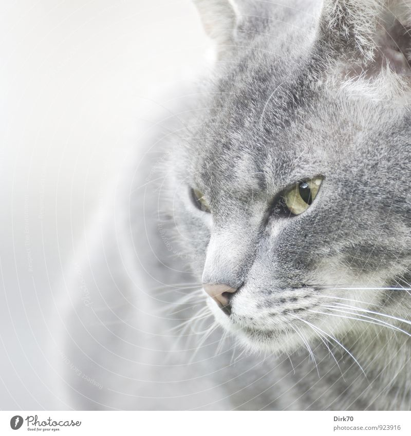 Selbstbewusst Katze weiß Tier schwarz gelb Leben grau rosa elegant Kraft ästhetisch beobachten Coolness Wachsamkeit Tiergesicht Mut