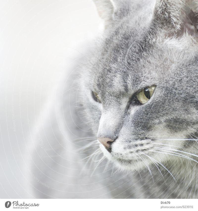 Selbstbewusst Tier Haustier Katze Tiergesicht 1 beobachten Blick ästhetisch rebellisch gelb grau rosa schwarz weiß selbstbewußt Coolness Kraft Willensstärke Mut
