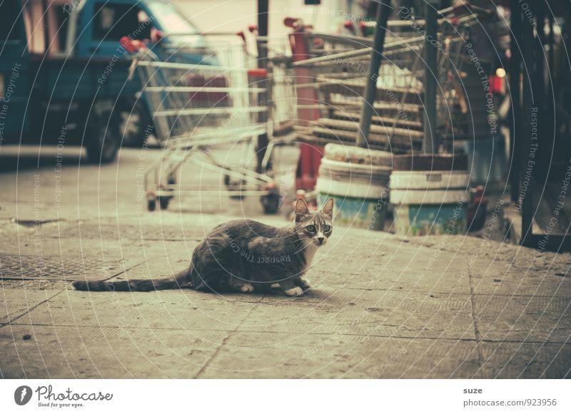 Streuner in Palermo Ferien & Urlaub & Reisen Tourismus Städtereise Kultur Tier Stadt Altstadt Straße Einkaufswagen Katze warten authentisch dreckig trist