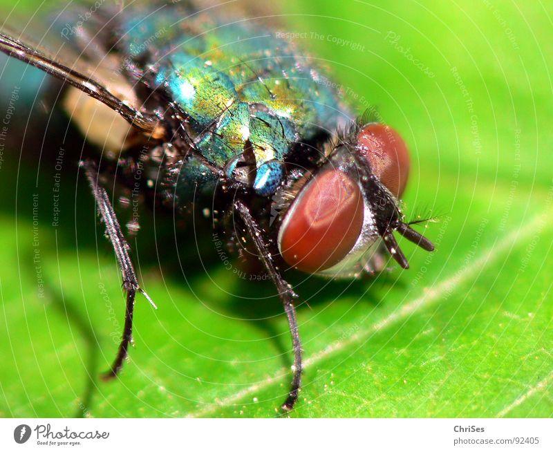 Die grüne Schmeissfliege Schmeißfliege Insekt Zweiflügler Schädlinge Blatt Tier Facettenauge Fühler Metall braun Makroaufnahme Nahaufnahme Fliege Aasfliege