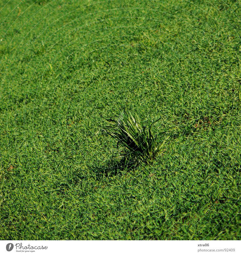 es grünt so grün Gras Wiese Grasbüschel Feld einheitlich Halm Einsamkeit Sommer Frühling rasenmähen Rasen vergessen verrückt Büschel Blumenstrauß Neigung