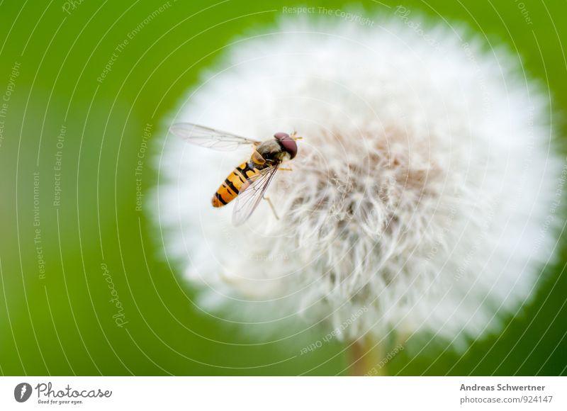 Pusteblume Umwelt Natur Pflanze Frühling Sommer Blume Gras Wildpflanze Garten Wiese Biene Flügel 1 Tier Freundlichkeit Fröhlichkeit Gesundheit hell klein