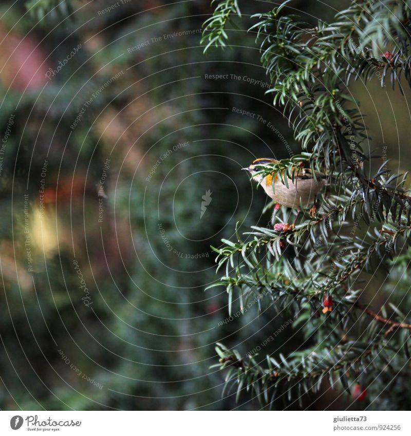 Sommergoldhähnchen Umwelt Natur Herbst Baum Eibe Garten Tier Wildtier Vogel Singvögel 1 gelb grün rot Glück Zufriedenheit Lebensfreude Tierliebe schön Idylle