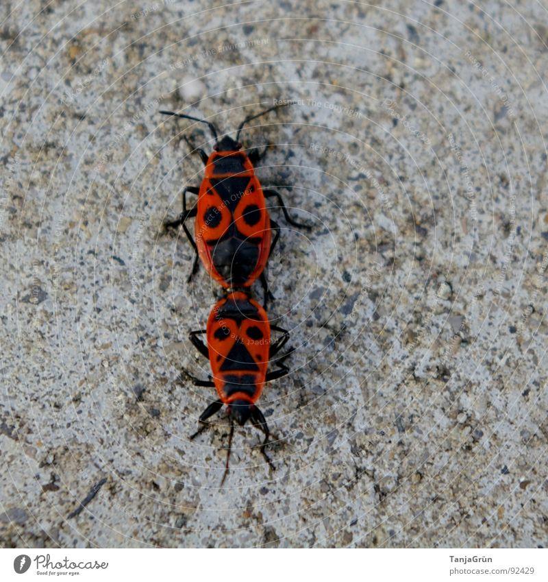 Liebesspiel rot schwarz Tier grau Stein Beton Bodenbelag Punkt Richtung kämpfen Käfer krabbeln Fühler Wildnis Gänsehaut Wandel & Veränderung